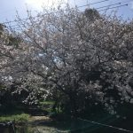 桜の木の下で!!